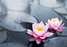 Flores del loto Imagenes de archivo