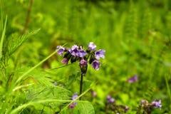 flores del lungwort después de la lluvia Imagenes de archivo