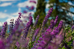 Flores del Lupine Fotografía de archivo