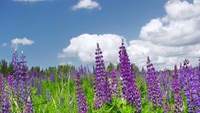 Flores del lupine del verano almacen de video