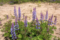 Flores del Lupine salvaje imagen de archivo