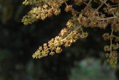 Flores del mango Fotografía de archivo