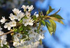 Flores del manzano Imagen de archivo
