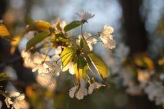 Flores del manzano Foto de archivo libre de regalías