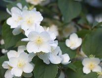 Flores del manzano Imágenes de archivo libres de regalías