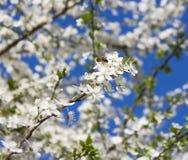 Flores del manzano, Abeja Imágenes de archivo libres de regalías