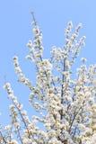 Flores del manzano de la rama en primavera Fotografía de archivo