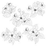 Flores del manzano y contornos fijados hojas Fotos de archivo libres de regalías