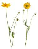 Flores del margarita-gerbera amarillo Fotografía de archivo