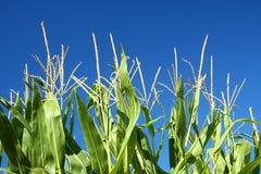 Flores del maíz Fotos de archivo libres de regalías