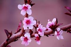Flores del melocotón fotos de archivo