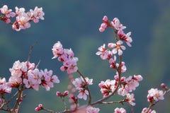 Flores del melocotón de la montaña imágenes de archivo libres de regalías