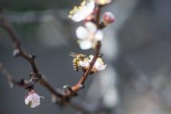 Flores del melocotón en la primavera Fotografía de archivo