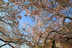 Flores del melocotón en la primavera, Alemania fotos de archivo