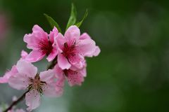 Flores del melocotón en resorte Fotografía de archivo libre de regalías