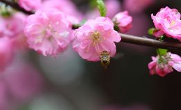 Flores del melocotón en resorte Fotos de archivo libres de regalías