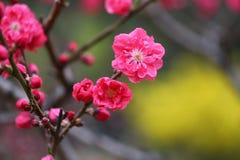Flores del melocotón en resorte Fotografía de archivo