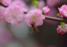 Flores del melocotón en resorte Foto de archivo