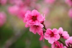 Flores del melocotón en resorte Foto de archivo libre de regalías