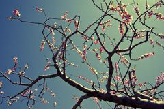 Flores del melocotón Imágenes de archivo libres de regalías