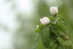 Flores del membrillo Imágenes de archivo libres de regalías