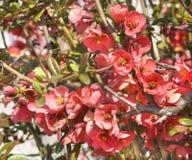 Flores del membrillo en rama Fotos de archivo