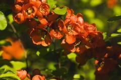 Flores del membrillo japonés Imagen de archivo