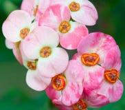 Flores del milii del euforbio Fotos de archivo libres de regalías