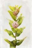Flores del Milkweed de la acuarela Foto de archivo