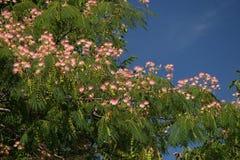 Flores del Mimosa Imágenes de archivo libres de regalías