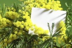 Flores de la mimosa con la tarjeta en blanco foto de archivo