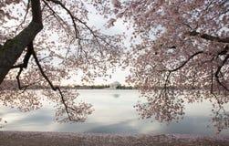 Flores del monumento y de cereza de Jefferson Imagenes de archivo