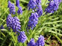 Flores del Muscari Imagen de archivo libre de regalías