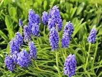 Flores del Muscari Imagen de archivo