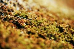 Flores del musgo en primavera Fotos de archivo