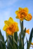 Flores del narciso Fotos de archivo libres de regalías