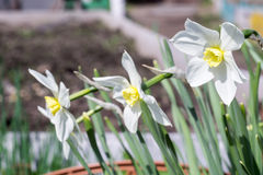 Flores del narciso Foto de archivo libre de regalías