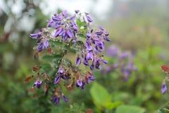 Flores del oblongum del Desmodium fotografía de archivo