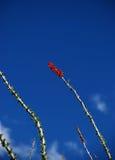 Flores del Ocotillo Fotografía de archivo