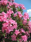 Flores del Oleander imagenes de archivo