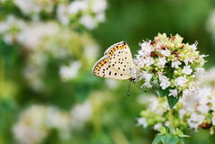 Flores del orégano Fotografía de archivo
