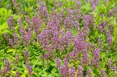 Flores del orégano en el jardín imagen de archivo