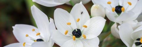 Flores del Ornithogalum con la hormiga Imagen de archivo