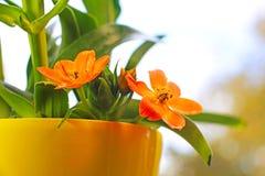Flores del Ornithogalum Dubium imagen de archivo