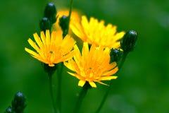 Flores del oro Imágenes de archivo libres de regalías
