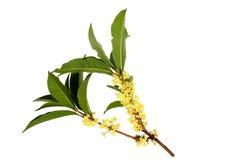 Flores del Osmanthus Imagen de archivo libre de regalías