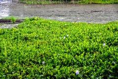 Flores del pantano Imagen de archivo