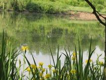 Flores del pantano Imagenes de archivo