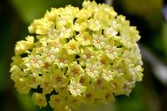 Flores del parasitica de Hoya Fotografía de archivo libre de regalías