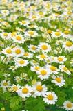 Flores del parthenium del Tanacetum Foto de archivo libre de regalías